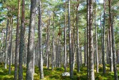 Аукционы по продаже права на заключение договоров купли-продажи лесных насаждений